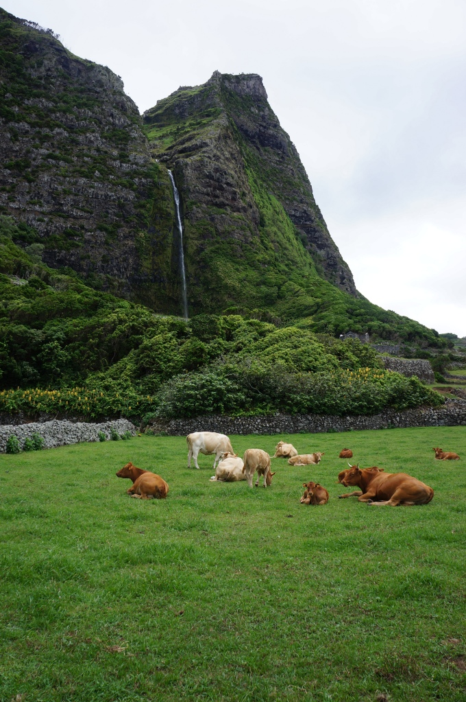 Cows Rest Near the Codfish Waterfalls